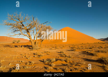 Acacia tree in front of the giant Sand Dune 45, Sossusvlei, Namib-Naukluft National Park, Namibia, Africa - Stock Photo