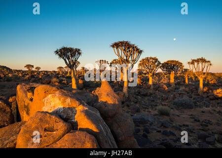 Quiver tree forest (Aloe dichotoma) at sunset, Gariganus farm, Keetmanshoop, Namibia, Africa - Stock Photo