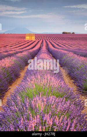 House in a lavender field at sunset, Plateau de Valensole, Alpes-de-Haute-Provence, Provence-Alpes-Cote d'Azur, - Stock Photo