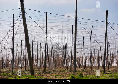 Hop bins (bines) in the early growing season in a field at East Peckham, Kent, England, United Kingdom, Europe - Stock Photo