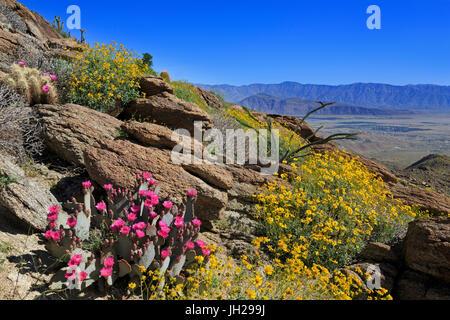 Beavertail and brittlebush, Anza-Borrego Desert State Park, Borrego Springs, San Diego County, California, USA - Stock Photo