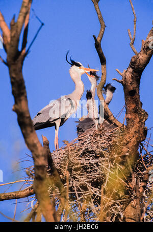 Grey Heron, (Ardea cinerea), adult bird feeds juvenile in nest, Regents Park, London, United Kingdom - Stock Photo