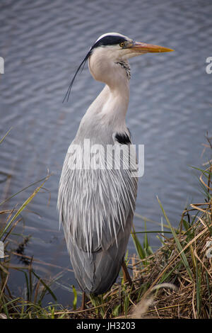 Large Grey Heron sat on the side of the lake fishing for his dinner. His head is turned to the right so you can - Stock Photo