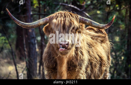 Male Highland cow standing staring straight at the camera. a golden brown Highland Cow licking his nose, his horns - Stock Photo