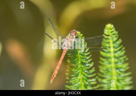Common darter, Sympetrum striolatum, male, Sussex, June. - Stock Photo