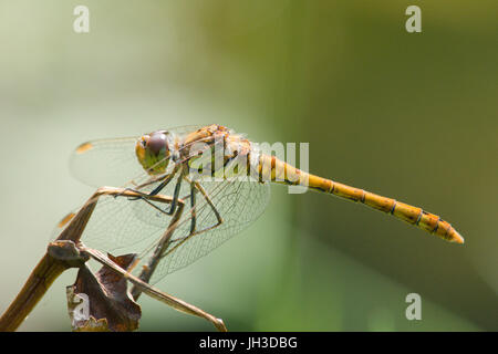 Common darter, Sympetrum striolatum, female, Sussex, June. - Stock Photo