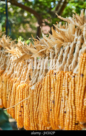 A lot of cob corn, hung to dry in the summer sun. Vertical. - Stock Photo