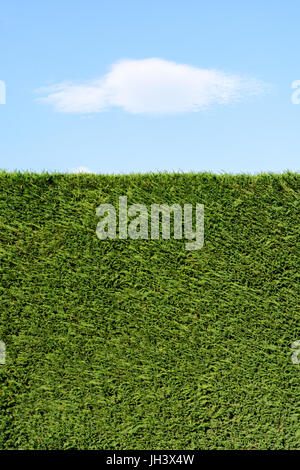A trimmed cedar hedge under a blue sky with a white cloud. - Stock Photo