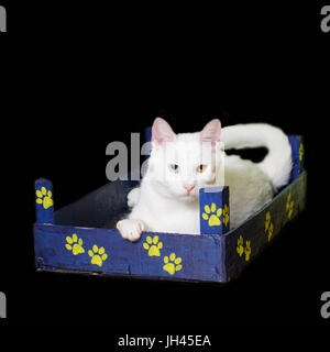 White cat with heterochromia iridum lying in a little wooden crate. - Stock Photo