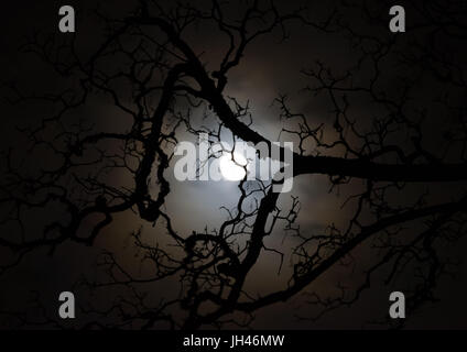 Moonlit sycamore tree branch silhouette. Halloween full moon - Stock Photo
