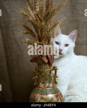 Cat with its tongue stuck out sitting beside a vase with wheat and seedpods of the Goldenrain tree. Cat with heterochromia - Stock Photo