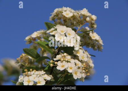 White Plum Cherry Blossoms - Stock Photo