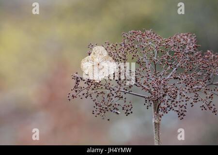 Brittle Hydrangea Flower in Winter - Stock Photo