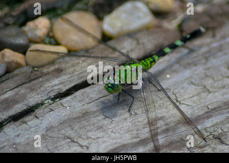 A green dragonfly resting on a piece of wood at Brazos Bend State Park in Texas - Stock Photo