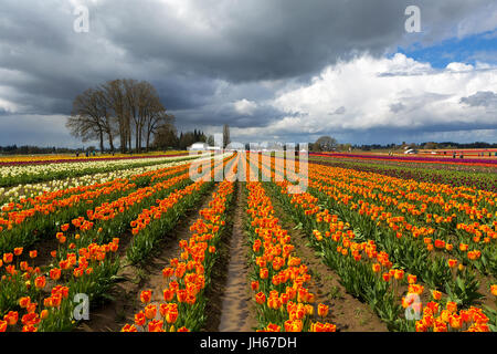 Rows of colorful tulips at Wooden Shoe Tulip Festival in Woodburn Oregon on a cloudy day - Stock Photo
