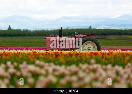 The Pink Tractor at Wooden Shoe Tulip Festival in Woodburn Oregon - Stock Photo