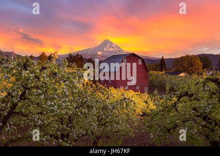 Sunset over Mount Hood and Red Barn in Pear Orchard in Hood River Oregon during Spring season - Stock Photo