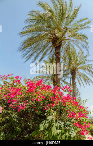 Palm trees ( Arecaceae ) and red flowering shrubs in the Garden of Beatitudes Church, on the Sea of Galilee, Mount - Stock Photo