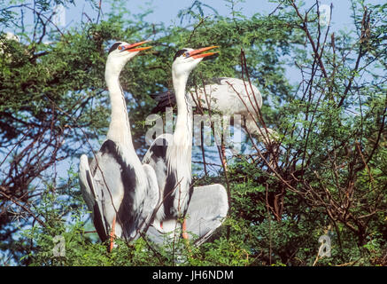 Grey Heron, (Ardea cinerea), sunbathing, breeding pair, Keoladeo Ghana National Park, Bharatpur, Rajasthan, India - Stock Photo