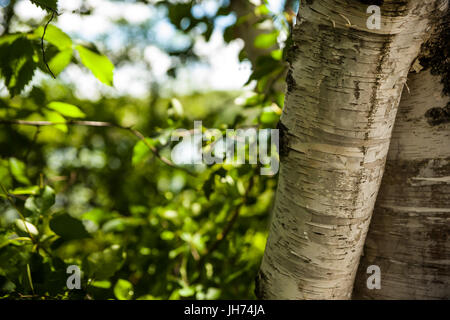 Tree trunk close up to right with faded background to left - Stock Photo