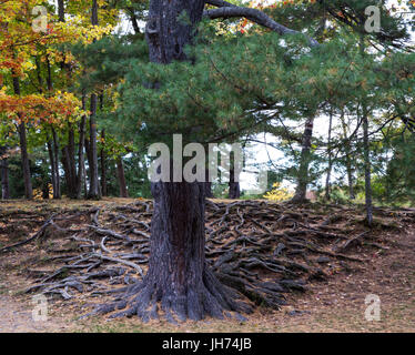 Large evergreen tree with intricate pattern of above ground roots - Stock Photo