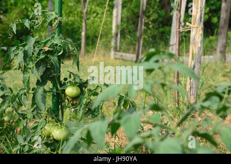 Tomato plant with green, unripe fruits tied up a stake. Selective focus. - Stock Photo
