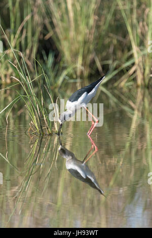 Black winged stilt (Himantopus himantopus) foraging in water with reflection, Ranthambore national park, Rajasthan, - Stock Photo