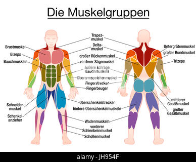 muscle chart with most important muscles of the human body, Muscles