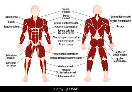 Muscle Chart With Most Important Muscles Of The Human Body Colored