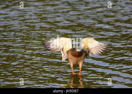 Female mallard duck with wings out stretched coming into land on a lake - Stock Photo