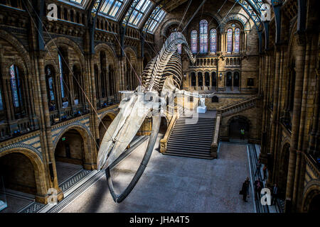 Hope, Blue Whale, Natural History Museum - Stock Photo