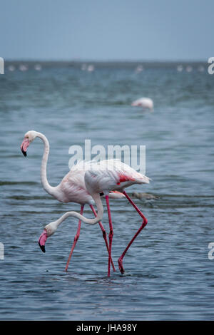 Two Flamingos Standing in Sea, Walvis Bay, Namibia - Stock Photo