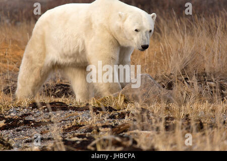 Great White Bear Tours Tundra Lodge