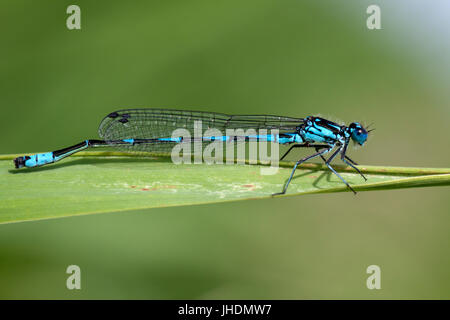 Blue dragonfly insect closeup macro on green background.  Photo taken with 90 mm macrolens. - Stock Photo