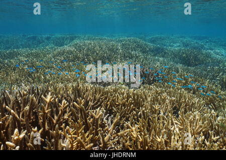 Pristine shallow coral reef with staghorn corals and a school of fish blue-green chromis, New Caledonia - Stock Photo