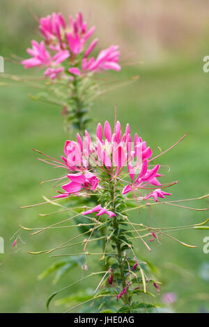 Cleome spinosa 'Pink Queen' flowers. - Stock Photo