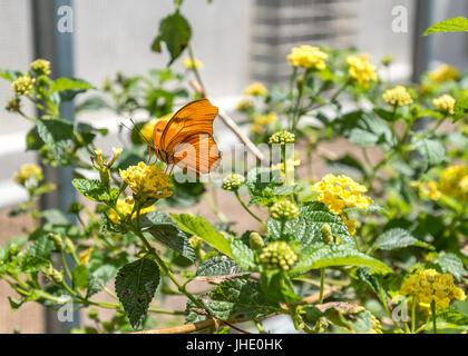 Orange Julia longwing butterfly, Dryas Iulia, on yellow lantana plant. - Stock Photo