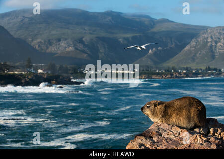 Rock hyrax or rock badger (Procavia capensis) in Hermanus and Walker Bay, Western Cape, South Africa - Stock Photo