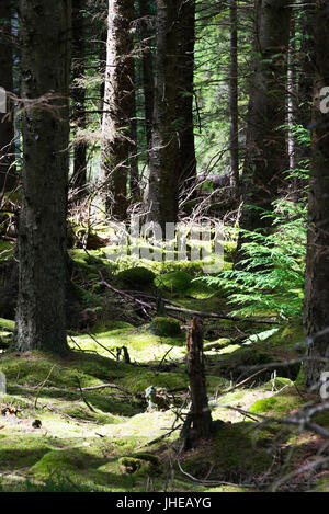 Moss Covered Ground in a Conifer Tree Lined Forest at Kielder Northumberland England United Kingdom UK - Stock Photo