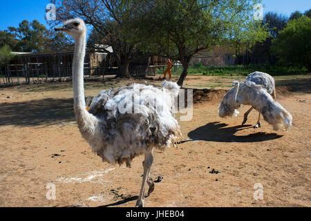 Safari ostrich show farm Oudtshoorn, Little Karoo, South Africa, Africa - Stock Photo