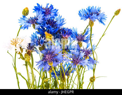 Field cornflowers on a white background. - Stock Photo