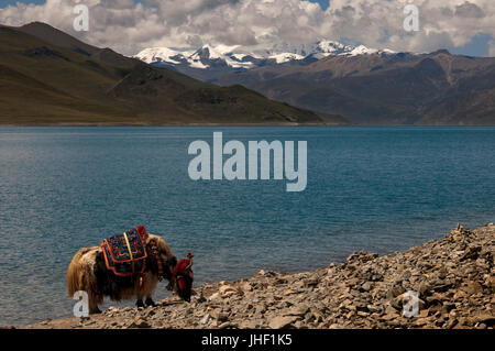 A Yak grazing at Tibet's Sacred Yamdrok Tso Lake (Yamzho Yumco in Tibetan), Shannan Prefecture, Tibet, China. - Stock Photo