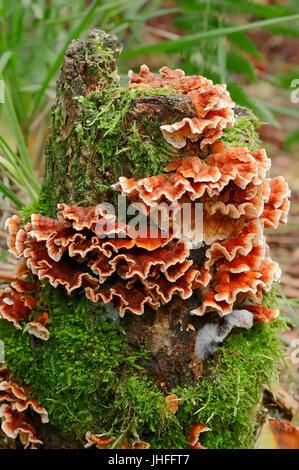 Bleeding Oak Crust, North Rhine-Westphalia, Germany / (Stereum gausapatum) / False Turkey Tail - Stock Photo