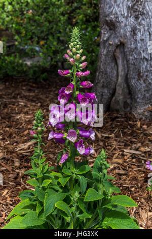 Foxglove flowers, Digitalis purpurea, Silverado Vineyards, Silverado Trail, Napa, Napa Valley, Napa County, California, - Stock Photo