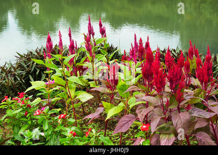 Beautiful Celosia Argentea flowers blossom in the garden. It also known as Red plumed cockscomb flowers. - Stock Photo