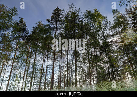 Reflections of spruce trees in a forest on a lake in the summer. - Stock Photo
