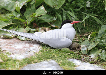 Arctic Tern (Sterna paradisaea), adult at nest with egg, Farne Islands, Northumbria, England, UK. - Stock Photo