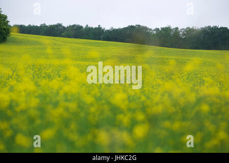 A field of canola in rural Ontario, Canada. - Stock Photo