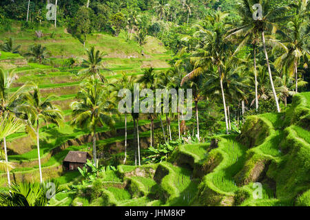 Beautiful rice terraces in the morning light, Ubud, Bali, Indonesia. - Stock Photo