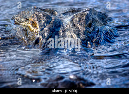 A 12 foot alligator stares directly into the camera in the Florida Everglades. This alligator frequents the same - Stock Photo